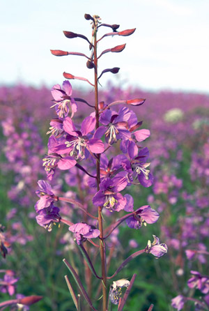 FIREWEED ON THE YUKON RIVER